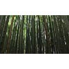 Bamboo 006 (stock movie HD material)