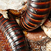The false accusation corrodes an ugly millipede